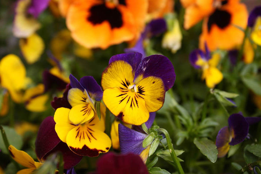 pansy-1